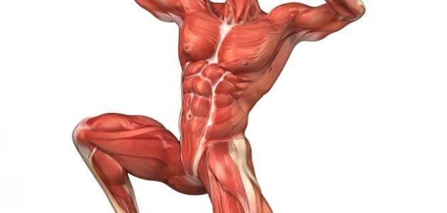 عدد عضلات الجسم
