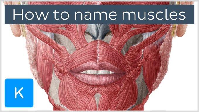 ما هى اسماء العضلات؟